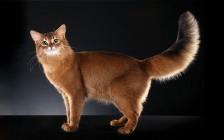索马里猫舍必读《索马里猫品相详解电子书》索马利猫书籍