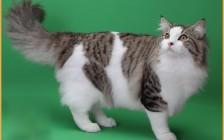 挪威森林猫特征容易辨别,粘人程度一般,不凶温顺适合家养