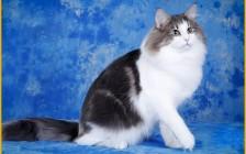 正规挪威森林猫舍有哪些?挑选猫舍、挑选挪森猫的秘密