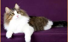 挪威森林猫和缅因猫都是大型猫种,挪威森林猫分辨品相并不难