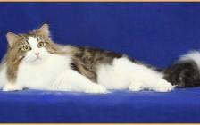 挪威森林猫适宜温度20~25度,挪威猫和缅因猫都是比较漂亮的纯种猫
