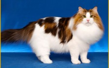 挪威森林猫和布偶猫差不多大,最大有18~20斤,说巨型挪威森林猫比较勉强