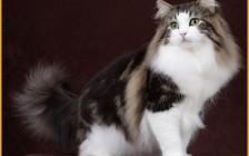 分辨挪威森林猫并不难,挪威森林猫1.5岁算成年