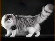 正规猫舍的挪威森林猫价格大概1.2~1.8万,挪威森林猫吃天然猫粮