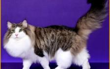 挪威森林猫颜色种类比较多,纯种挪威森林猫价格普遍上万元