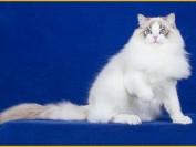 布偶猫舍必读的布偶猫书籍《布偶猫品相详解电子书》