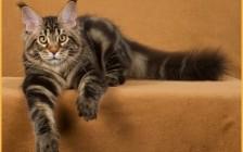 养缅因猫的体验_每月开销花费500元_一个月7斤猫粮_开支跟布偶猫接近