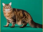 缅因猫颜色问题、花色问题的相关知识问答