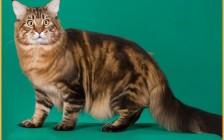 缅因猫8~10个月性成熟,一年发情两次,一窝能生3~6只小猫