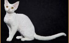 德文卷毛猫一窝生3-5只,德文猫眼睛什么颜色贵?