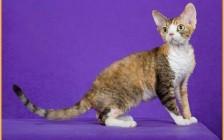 肉眼鉴别德文猫看品相,德文不卷毛就是最大的品相不合格