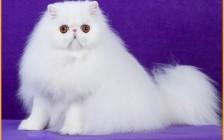 波斯猫舍必读的《波斯猫品相详解电子书》波斯猫书籍