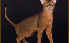 阿比猫幼猫品相判断?阿比西尼亚颜色哪个好?