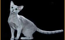 俄蓝猫舍必读的《俄罗斯蓝猫品相详解电子书》俄罗斯蓝猫书籍