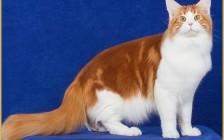 缅因猫三个月的体长大概65~70厘米,体重大概4斤