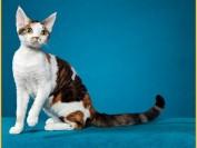 德文卷毛猫好养,四个月公猫体重3~4斤,纯不纯是看不出来的