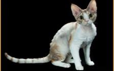 德文卷毛猫的前景看好,国外德文猫舍主要来自乌克兰_波兰_意大利