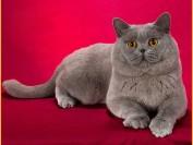 英国短毛猫眼睛颜色多是金色_古铜色,价格参差不齐