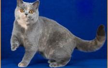 英国短毛猫的颜色非常多,英国蓝猫和俄罗斯蓝猫是二种截然不同的猫种