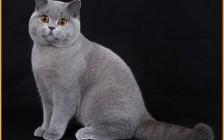 英国短毛猫一般3~5个月认主人,国内英国短毛猫价格区间比较大