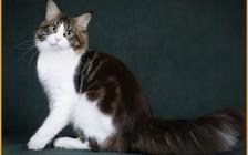 关于黑色缅因猫的系列知识问答