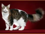 缅因猫颜色及价格方面的系列知识问答