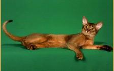 阿比尼西亚猫价格比较稳定,阿比猫看品相的主要围绕头型