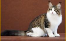 2个月_3个月_4个月_5个月等等_缅因猫体重体长知识问答