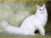 关于缅因猫每月花多少钱、吃多少、开销多少的探讨