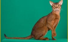 阿比猫舍必读的《阿比西尼亚猫品相详解电子书》阿比猫书籍