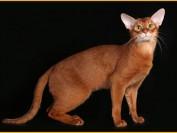 国内阿比西尼亚猫舍比较混杂,小阿比西尼亚猫品相差一点的七八千