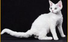 德文卷毛猫容易得病吗?德文红虎斑、银虎斑、眼睛颜色介绍