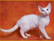 市场反馈德文猫还比较受欢迎,德文秃毛期6~8个月,公猫体重3-4kg