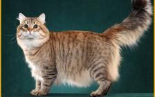 西森猫舍必读的《西伯利亚森林猫品相详解电子书》西伯利亚猫书籍