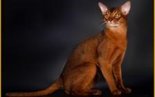 阿比西尼亚猫的体重在4-5公斤,正规猫舍的阿比猫价格都是一万以上