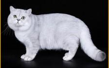 英国短毛猫有双色梵花_三色梵花,品相好的英短要符合协会的品种标准