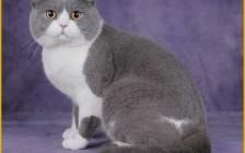 英国短毛猫要打猫三联疫苗,有血统证书的英短价格1~3万不等