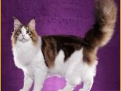 普通家庭养缅因猫,二个月可以开始吃生肉,一天喂二三遍
