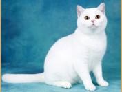纯白英短猫有耳聋的几率,英国短毛猫性格喜欢与人亲昵