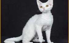 德文卷毛猫最贵的5万、10万,国内德文猫舍并不多