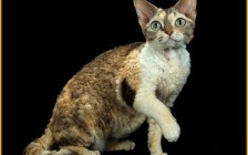 养德文猫的体验就是有点丑,繁育级的德文卷毛猫大概1.5~2万