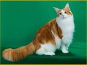 缅因猫口套有大有小,缅因猫嘴套怎么看?缅因猫嘴套分辨的秘密