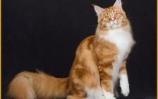 缅因猫红色_奶油色_凯米尔色的区别,凯米尔色到底是什么颜色?