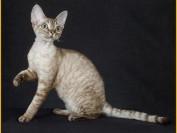 德文卷毛猫颜色繁育是一门专业的知识,德文卷毛公猫一般都二万左右
