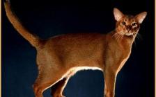 繁育级的阿比西尼亚猫价位一万多,阿比猫颜色主要分四种