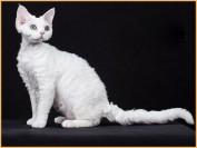 德文卷毛猫喜叫程度4颗星,德文卷毛猫缺陷常见的是被毛不卷