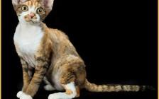德文卷毛猫容易死吗?德文卷毛猫体型大吗?