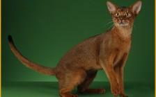 阿比西尼亚四种颜色是指原始褐色、红色、蓝色、小鹿色