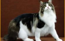 缅因猫叫声很特别,体型也很大,加白缅因猫也很甜美