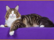 cfa缅因猫国际通用繁育标准_cfa缅因猫比赛评分标准介绍